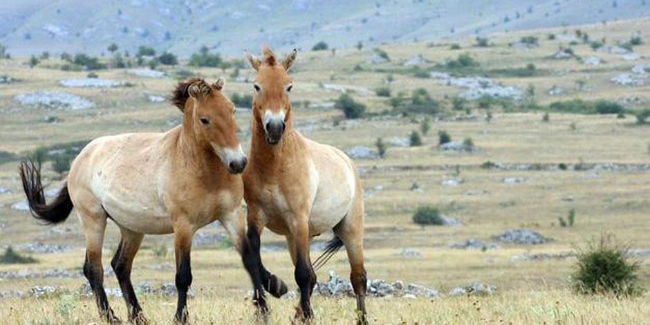 Extension « Découverte du Parc des chevaux sauvages de Préjvalski » – 3 Jours
